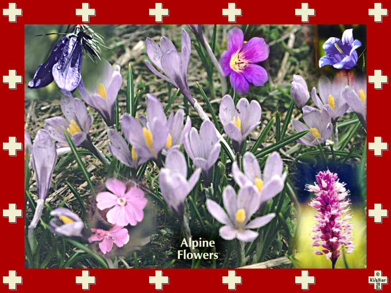 Purple, pink and blue alpine flowers.